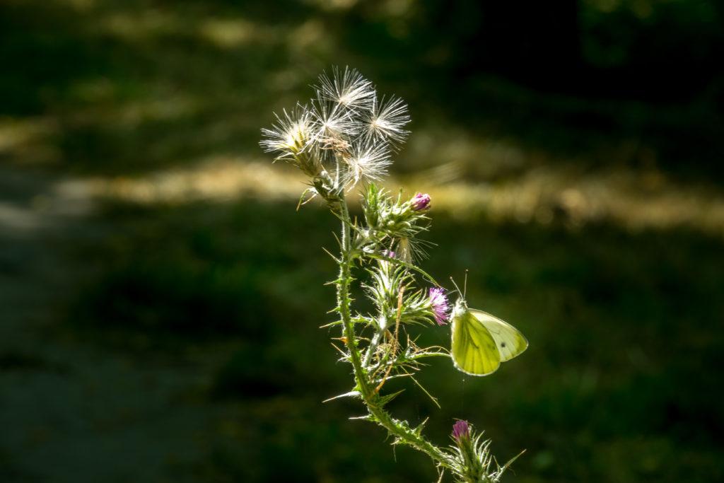 Papillon à Lafourguette