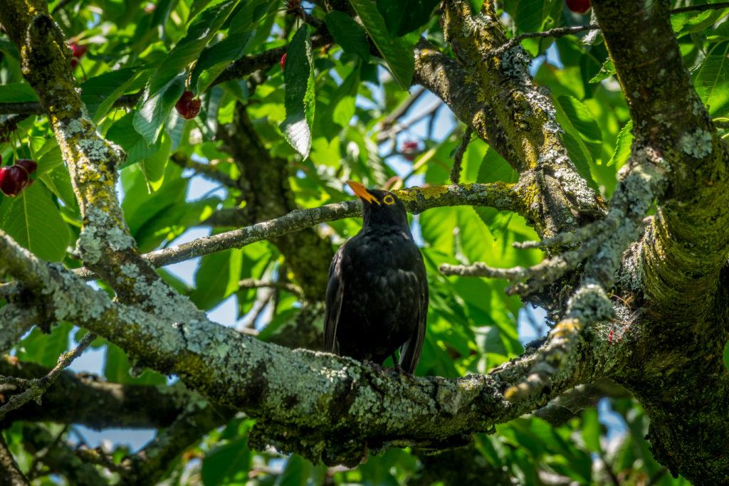 Oiseau de Lafourguette